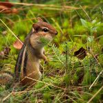 Storing Up for Winter: a chipmunk forages for food on the forest floor.