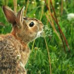 Make a Wish: a cottontail rabbit exhales on a dandelion, sending the seeds into the air.
