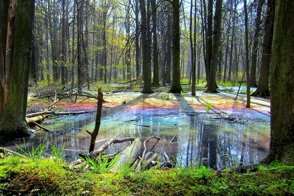 Fairytale Forest: the sunrise reveals a rainbow upon a thin layer of naturally occurring oil on the forest floor.
