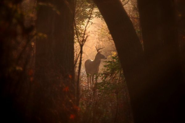 A Gap in the Forest: a white-tailed deer buck pauses in a gap of light between trees.