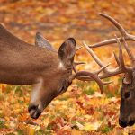 Locked In: a pair of white-tailed deer bucks spar during the rut.