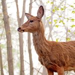 Queen of the Woods: a white-tailed deer doe gazes out over her domain.