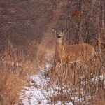 Stepping onto the Trail: a white-tailed deer steps onto a foot trail at the Ojibway Prairie Complex.