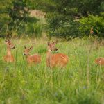 On the Open Prairie: a group of white-tailed deer gather on the open prairie.